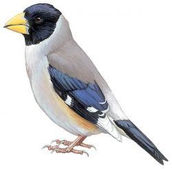 """斑鳩 """"Ikaruga"""" Japanese grosbeak (Eophona personata)."""