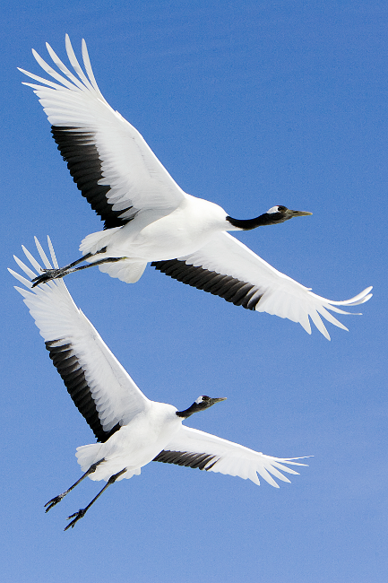 """'Red-Crowned Cranes in Flight' by Wikipedia-contributor """"Spaceaero2"""""""