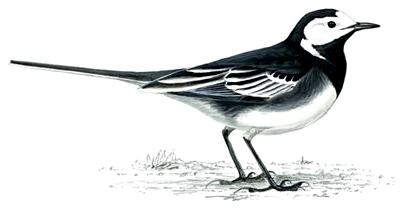 Wagtails Sing